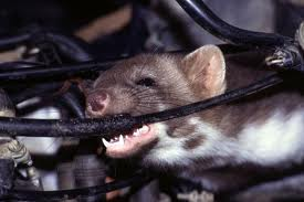 Rodents Want to Dine on Your Car! CarCapsule to the Rescue ... on